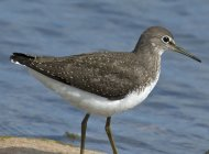Green Sandpiper by Michael Eccles