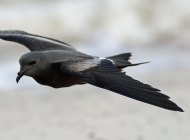 Leach's Petrel by Elliot Monteith