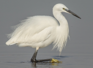 Little Egret by Jeff Lack