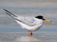 Little Tern by Tony Davison