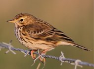 Meadow Pipit by the Anne Cotton