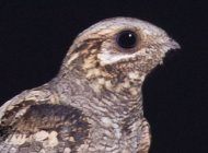 Nightjar by Chris Knights/BTO