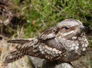 Nightjar by John Proudlock/BTO