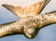Red Kite by David Hall