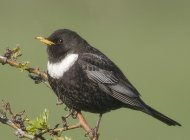 Ring Ouzel by Gary Loader