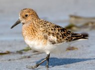Sanderling by Edmund Fellowes/BTO