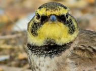 Shore Lark by Jeff Lack