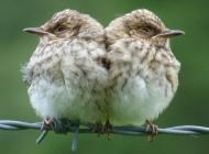 Spotted Flycatchers by Niall Anderson