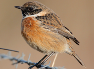 Stonechat by Mark Chivers