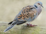 Turtle Dove by Jeff Lack