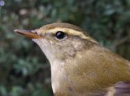 Yellow-browed Warbler by Damian Money