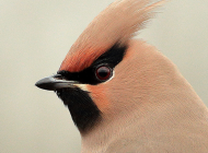 Waxwing by Karl Bishop
