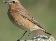 Wheatear by Jeff Lack