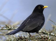 Blackbird - John Harding