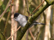 Blackcap by John Dunn