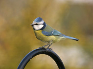 Blue Tit, by John Harding