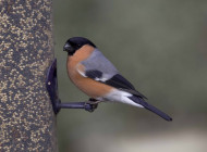 Bullfinch by John Harding