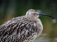 Curlew by Amy Lewis