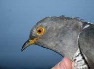 Cuckoo David