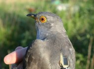 Satellite Tracking Cuckoos
