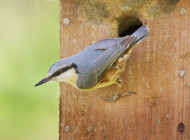 Nuthatch by Edmund Fellowes/bto