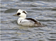 Smew by Peter Warne