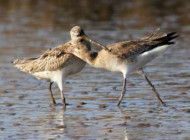 Godwits by Margaret Holland