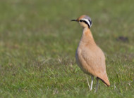Cream-coloured Courser by Jon Lowes