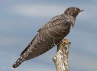 Cuckoo by Steven Carey