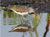Green Sandpiper by Nick Stacey
