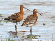Black-tailed Godwits by John W Walton