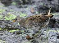 Spotted Crake by Steven Carey
