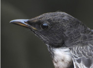Ring Ouzel by Neil Calbrade