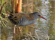 Water Rail by John Harding