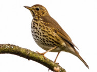 Song Thrush by Phil W Walton