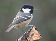 Coal Tit by Tony Marfell