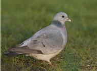Stock Dove by Chris Mills www.norfolkbirding.com