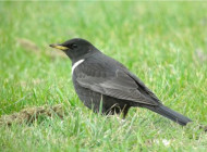 Ring Ouzel by Nick Moran