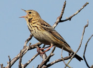 Tree Pipit by Will Brown