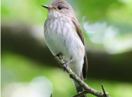 Spotted Flycatcher by Jeff Copner