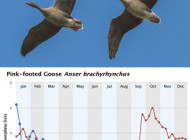 Pink-footed Geese by Mark Shewry