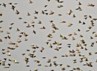 Starlings by Peter Warne