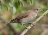Garden Warbler by Jon Lowes