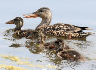 Shoveler by Edwyn Anderton