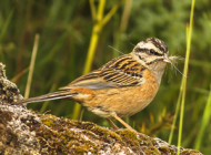 Rock Bunting with nesting material (code 'B') by Frank McClintock
