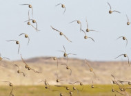Golden Plovers by Jamie Medford