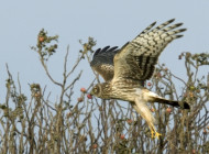 Hen Harrier. Photograph by Morris Rendall