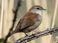 Cetti's Warbler by Edwyn Anderton