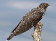 Cuckoo by Steve Carey