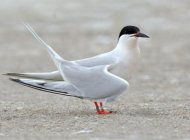 Roseate Tern by Mark Carmody